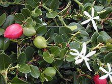 Carissa macrocarpa httpsuploadwikimediaorgwikipediacommonsthu