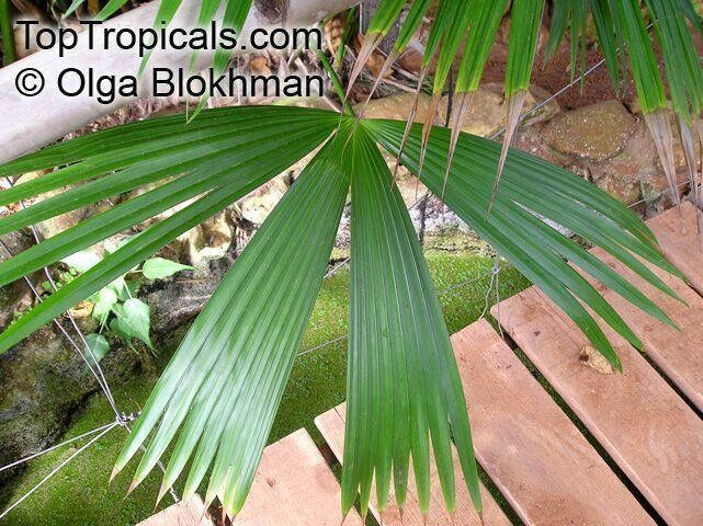 Carludovica Carludovica sp Carludovica Palm Jungle Drum TopTropicalscom