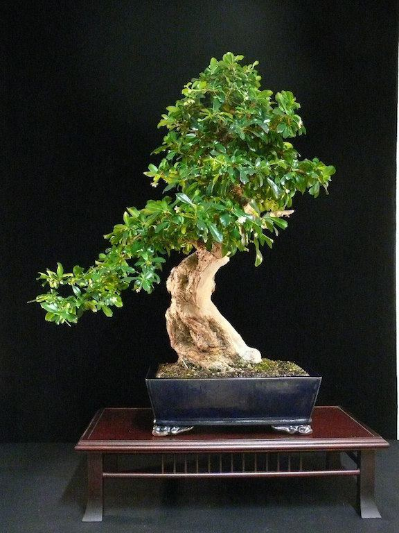 Carmona (plant) Care guide for the Fukien tea Bonsai tree Carmona Bonsai Empire