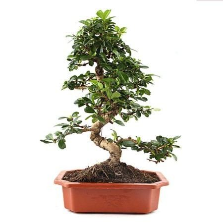 Carmona (plant) 5 year Carmona Bonsai Plant Buy Bonsai And Other Plants Online In