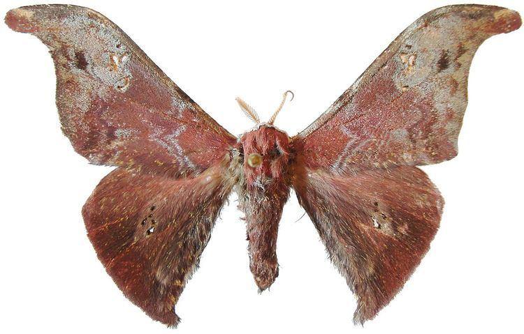 Carnegia (moth)
