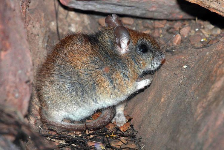 Carpentarian rock rat atozanimalsnetwpcontentuploads201512carpent
