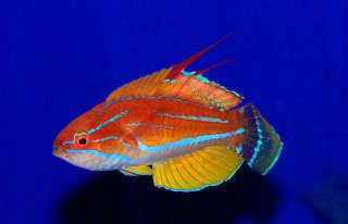Carpenter's flasher wrasse Carpenter39s Flasher Wrasse 1899ea The Reef Tank