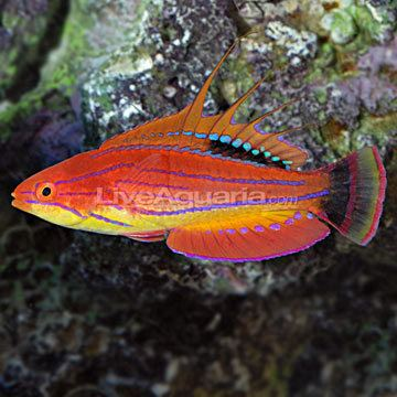 Carpenter's flasher wrasse Carpenter39s Flasher Wrasse