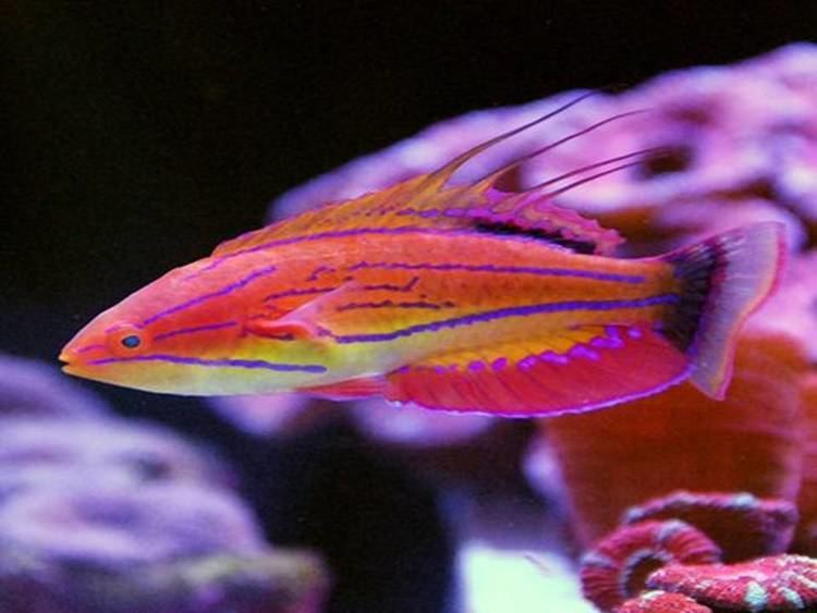 Carpenter's flasher wrasse Carpenter39s Flasher Wrasse 1 The Witches Coven