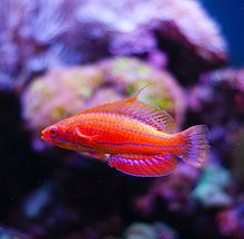 Carpenter's flasher wrasse httpsuploadwikimediaorgwikipediacommonsthu