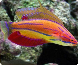 Carpenter's flasher wrasse McCosker39s Flasher Wrasse 55 gal min Male Alternate option