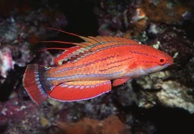 Carpenter's flasher wrasse Buy Carpenters Flasher Wrasse Online at Aquarium Warehouse