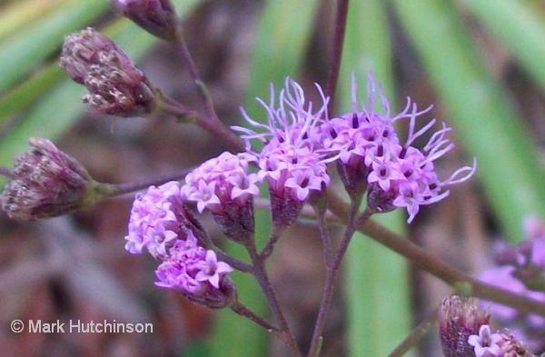 Carphephorus Florida Native Plant Society
