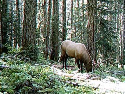 Carson, Washington Bull Elk and Cows Carson Washington YouTube