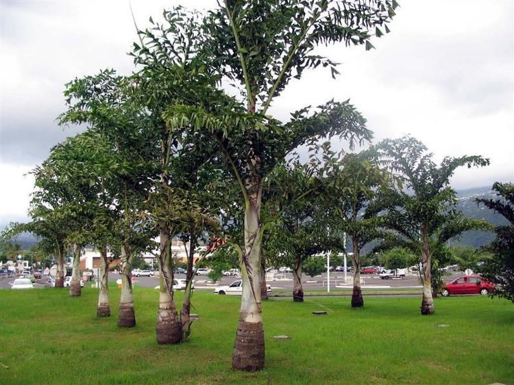 Caryota urens Buy Caryota urensFish tail Palm seed syed garden