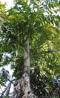 Caryota urens Caryota urens Palmpedia Palm Grower39s Guide