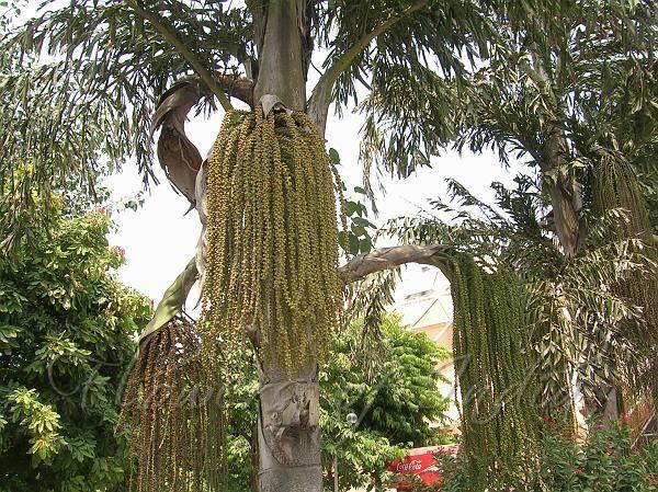 Caryota urens Caryota urens Fishtail Palm