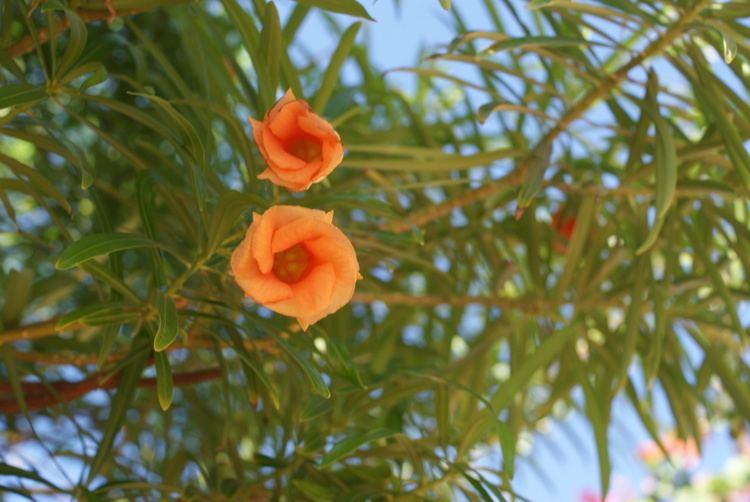 Cascabela FileCascabela thevetia in the Makadi Bay 21jpg Wikimedia Commons
