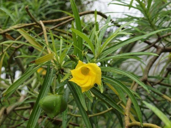 Cascabela Cascabela thevetia1 CPtnjpg