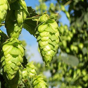 Cascade hop Indie Hops Aroma Craft Brewing Organic Pellets Supplier Beer
