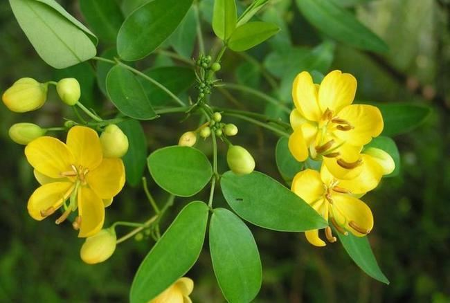 Cassia tora Blog from Mundanat Cassia ToraA medicinal Herbas well as food