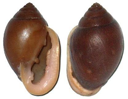 Cassidula ELLOBIDAE