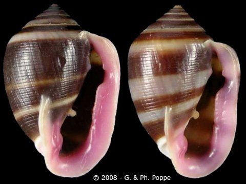 Cassidula Cassidula Cassidula nucleus nucleus
