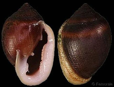 Cassidula Cassidula Cassidula aurisfelis