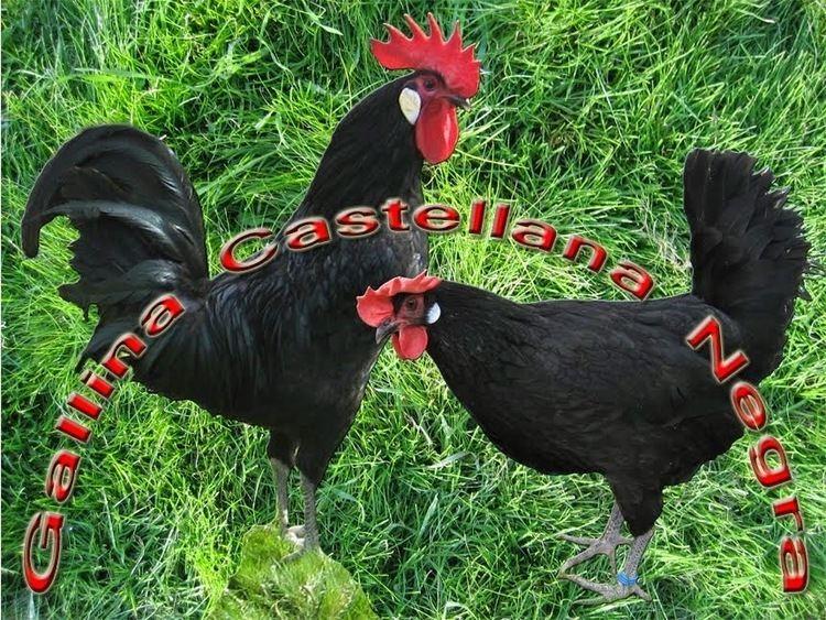 Castellana Negra BLOG2jpg