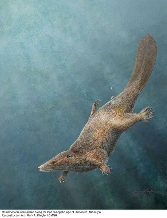 Castorocauda Mammal Swam with Dinosaurs