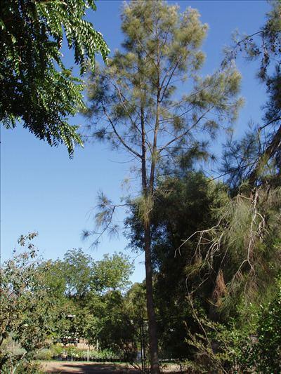 Casuarina cristata Casuarina cristata Australian Native Plants Plants 8007016517