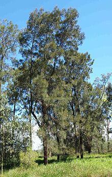 Casuarina cristata httpsuploadwikimediaorgwikipediacommonsthu