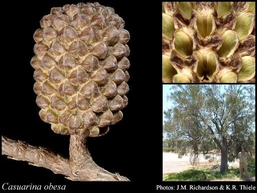 Casuarina obesa Casuarina obesa Miq FloraBase Flora of Western Australia