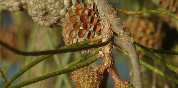 Casuarina obesa Western Swamp Oak Plant Guide Lifestyle HOME