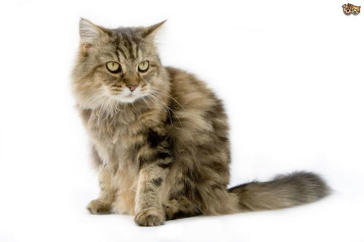 Cat The top 8 largest domestic cat breeds Pets4Homes