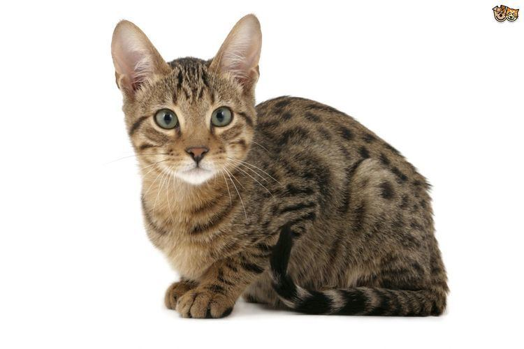 Cat 6 Large Domestic Cat Breeds With Wild Relatives Pets4Homes