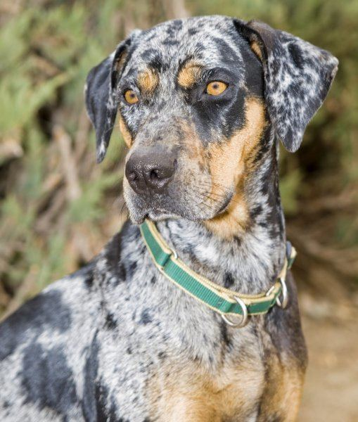 Catahoula Cur 10 Cool Facts About Catahoula Leopard Dogs catahoulaleoparddog
