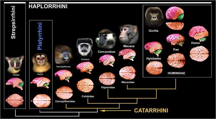 Catarrhini CATARRHINI EVOLUTION Esta uma publicao de Nelson Ferna Flickr