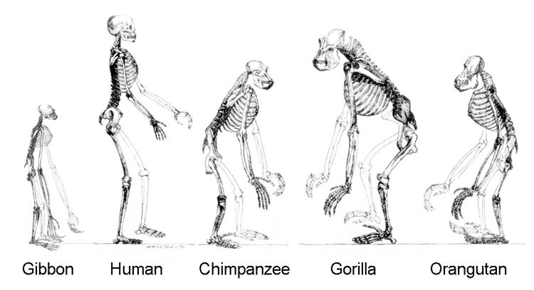 Catarrhini Catarrhini Primates Hominoidea Apes and Humans Anthropology
