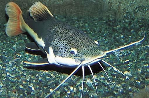 Catfish The Ultimate Catfish Guide you Need to Know About in 2016