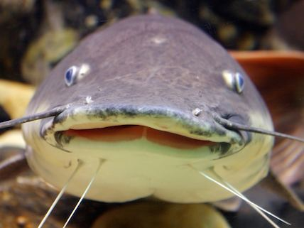 Catfish How Government Cronies Redefined the Catfish Reasoncom