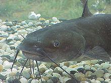 Catfish httpsuploadwikimediaorgwikipediacommonsthu