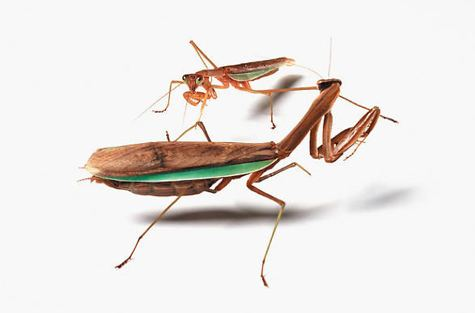 Catherine Chalmers Catherine Chalmers Food Chain Praying Mantises aCurator