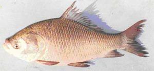 Catla FAO Fisheries amp Aquaculture Cultured Aquatic Species Information