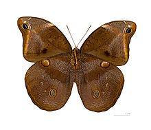 Catoblepia xanthus httpsuploadwikimediaorgwikipediacommonsthu