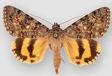 Catocala benjamini httpsuploadwikimediaorgwikipediacommonsthu