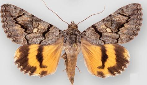 Catocala californiensis