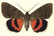 Catocala oberthuri httpsuploadwikimediaorgwikipediacommonsthu
