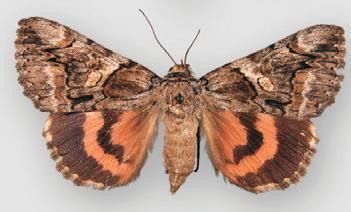 Catocala ophelia