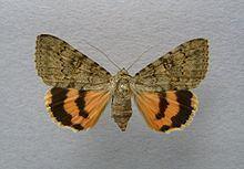 Catocala puerpera httpsuploadwikimediaorgwikipediacommonsthu