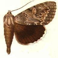 Catocala robinsonii