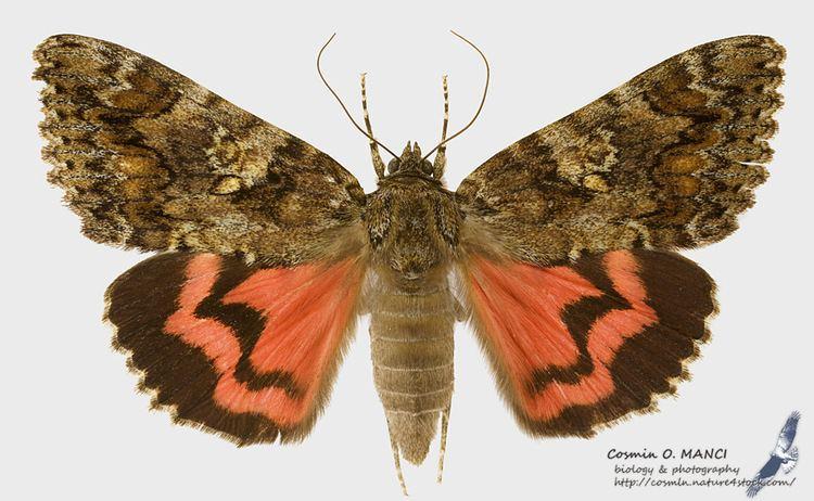 Catocala sponsa Lepidoptera around Romania and not only Catocala sponsa Linnaeus