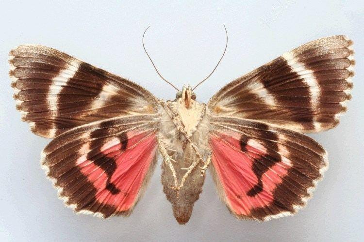 Catocala sponsa Bestimmungshilfe des Lepiforums Catocala Dilecta