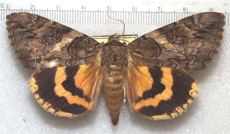 Catocalinae The Moths of Southeastern Arizona